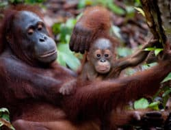 A mother orangutan holds her baby in an image from the Born to be Wild film